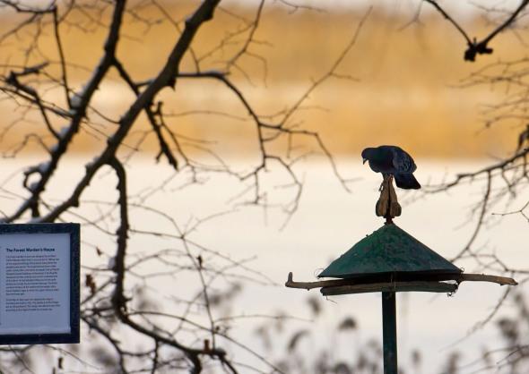 Pigeon in Seurasaari